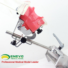 DENTAL02-2 (12561) Table Tooth Phantom Head Tooth Préparer des modèles de pratique